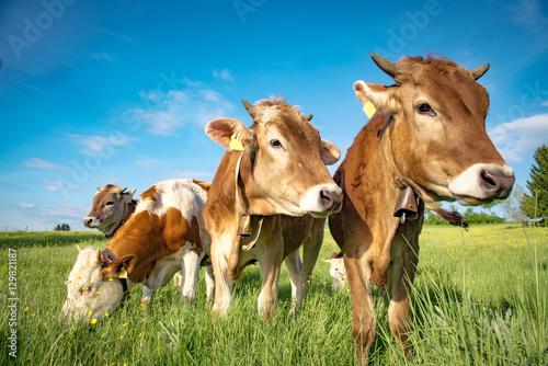 Poster Koe Vier Rinder auf einer Weide im Allgäu