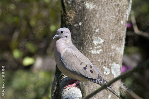Eared dove perched on tree branch