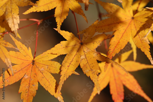Poster  maple leaves