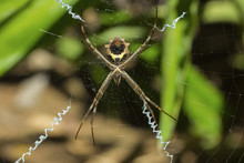 Yellow & Black Garden Spider (Argiope Aurentia) With Normal Zigzag Stabilimentia On Web; Nosara, Guanacaste Province