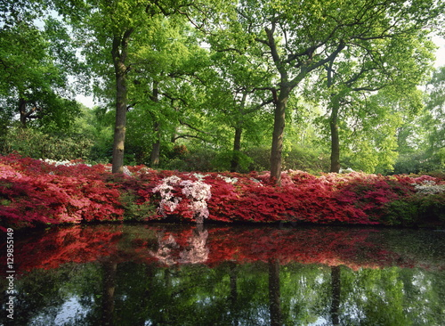 Deurstickers Azalea Azaleas, The Isabella Plantation, Richmond Park, London, England, United Kingdom, Europe