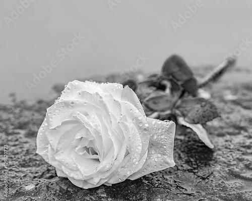 Fotografie, Obraz  eine auf gefrorenem Untergrund auf einem Stein abgelegte Rose zum Ausdruck der T