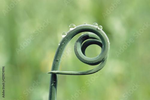 Fotografie, Obraz  Closeup of curly twig of vine