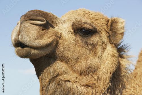 Spoed Foto op Canvas Kameel Closeup of a camel's head against the blue sky