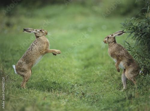 Valokuva Two aggressive hares
