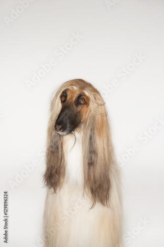 Photo Afghan hound sitting against white background