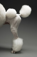 Haunches Of Standard White Poo...