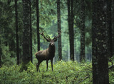 Fototapeta Natura - Red deer stag in forest