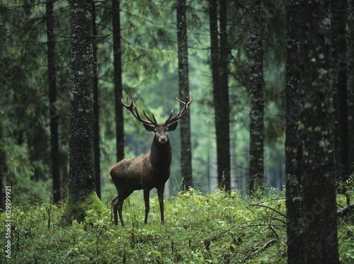 Photo sur Toile Cerf Red deer stag in forest