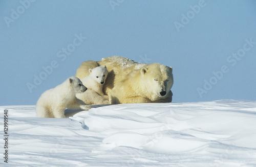 Staande foto Ijsbeer Polar Bear cubs with mother in snow Yukon