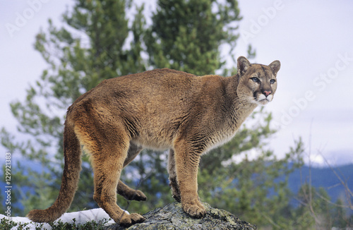 In de dag Puma Mountain Lion standing on rock