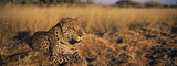 Fototapeta Sawanna - Leopard (Panthera Pardus) lying in grass on savannah