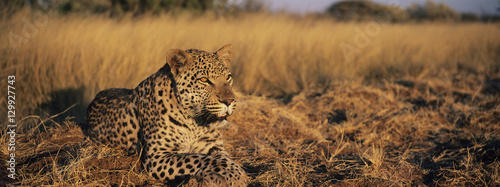 Foto op Canvas Luipaard Leopard (Panthera Pardus) lying in grass on savannah