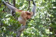 Dominant Male Proboscis Monkey...