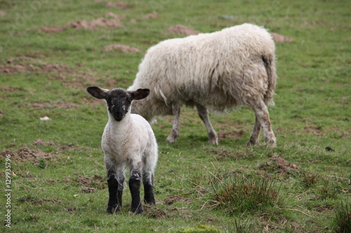 Fotografija  Scottish blackface lambs in a countryside farm