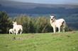 A new born lamb looking at the green beautiful Scottish field