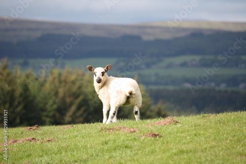 A new born lamb looking at the green beautiful Scottish field Poster
