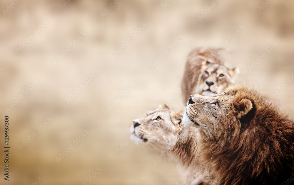 Lions look. Family of African Lions looking