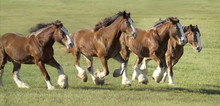 Herd Of Clydesdale Draft Horse...