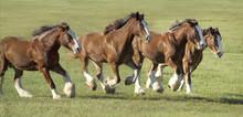 Herd Of Clydesdale Draft Horse Mares Run Across Open Green Paddock