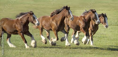 Herd of Clydesdale Draft horse mares run across open green paddock Canvas-taulu