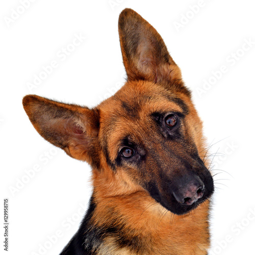 A beautiful muzzle is the German shepherd, isolated on a white b © Ian 2010