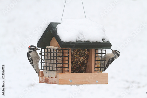 Sticker - Downy Woodpeckers (Picoides pubescens)