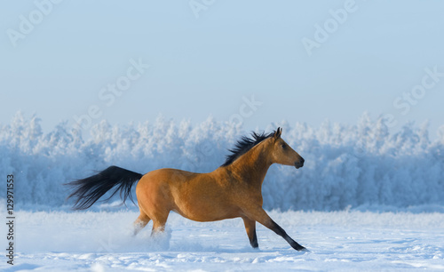 Chestnut horse running across snowy field.