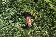 Head Of Brown Horse
