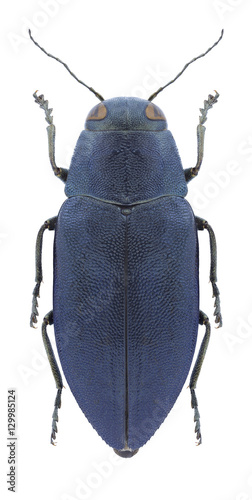 Beetle Phaenops cyaneus on a white background