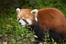 Red Panda (Ailurus Fulgens), Panda Breeding And Research Centre, Chengdu, Sichuan Province, China