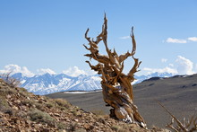A Twisted Very Old Bristlecone Pine (Pinus Longaeva), On Sage Brush Covered Slopes Of Dolomite Limestone, In The Ancient Bristlecone Pine Forest Park, Inyo National Forest, Bishop, California