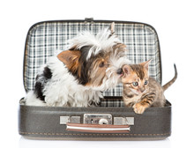 Biewer-Yorkshire Terrier Dog Sniffing Bengal Cat In Open Bag. Isolated On White