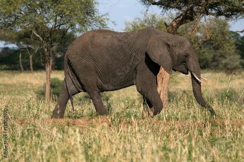 Foto op Aluminium Olifant Elephant. Tanzania, Africa