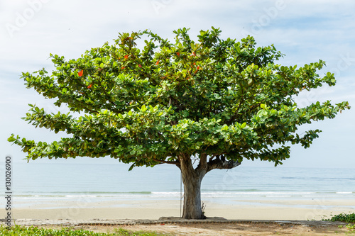 Beach almond tree Canvas-taulu