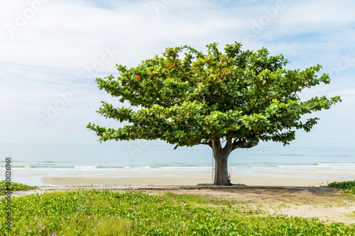 Photo Beach almond tree