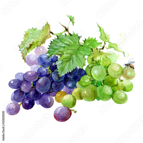 Watercolor grape bunch of green and dark grapes isolated on a white background illustration. Fototapete