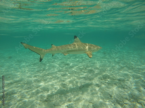 Photo requin - bora bora
