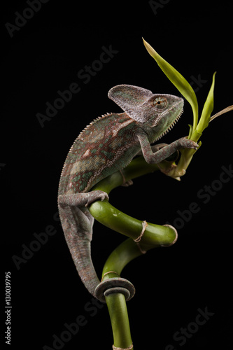 Poster Chamaleon Kameleon