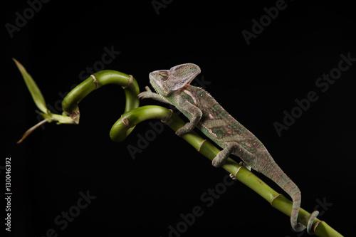 Poster Chamaleon Kameleon na bambusie