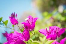 Bougainvillea Flowers, Pink Fl...