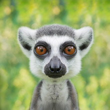 Funny Lemur Face Close Up With...