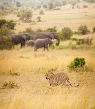 African Cheetah Hunting At Great Spaces Of Savanna