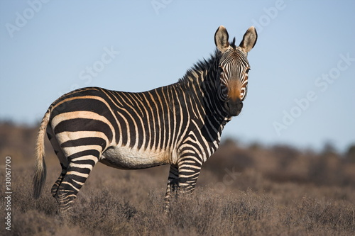 Fotografía Cape mountain zebra, Equus zebra zebra, Mountain Zebra National Park, Eastern Ca