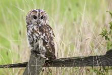 Tawny Owl (Strix Aluco), Captive