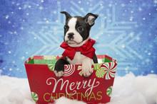 Boston Terrier Christmas Puppy