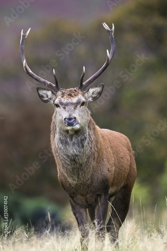 Red deer stag (Cervus elaphus), Arran, Scotland, United Kingdom, Europe