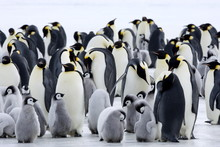 Colony Of Emperor Penguins (Ap...