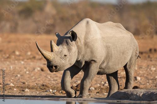 Poster Neushoorn Black rhino, Etosha National Park, Namibia