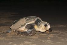 Loggerhead Turtle (Caretta Car...